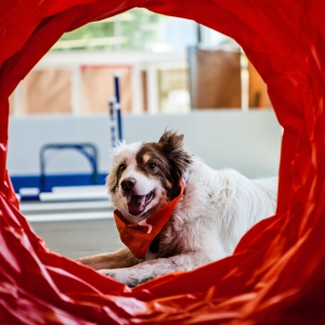 Dog lying down looking through play tunnel