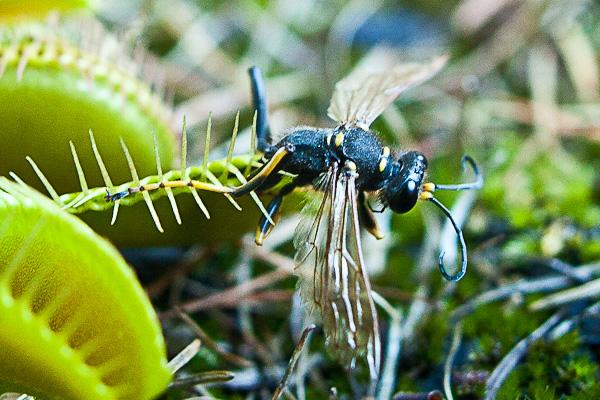 Wasp caught in venus flytrap